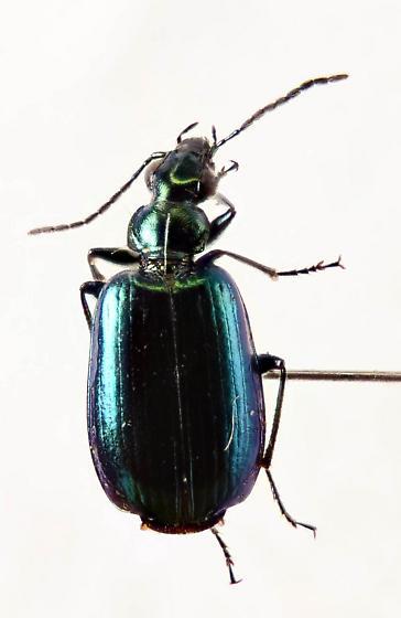 Another Lebia? - Lebia viridis