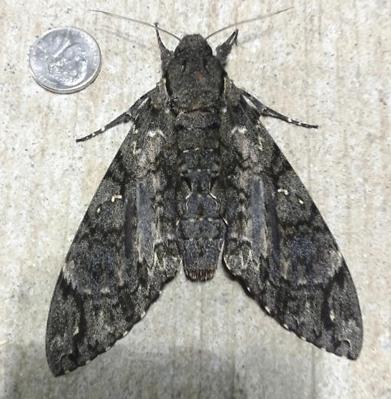 Very Large Sphynx moth in Goleta, California - Cocytius antaeus