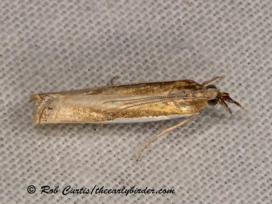 6036595 moth - Crambus