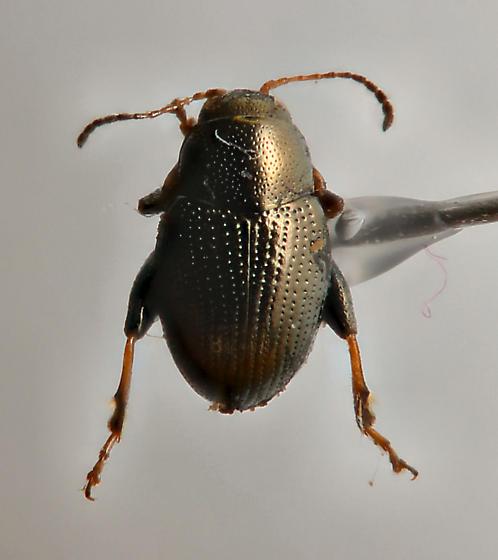 Another tiny flea beetle? - Chaetocnema