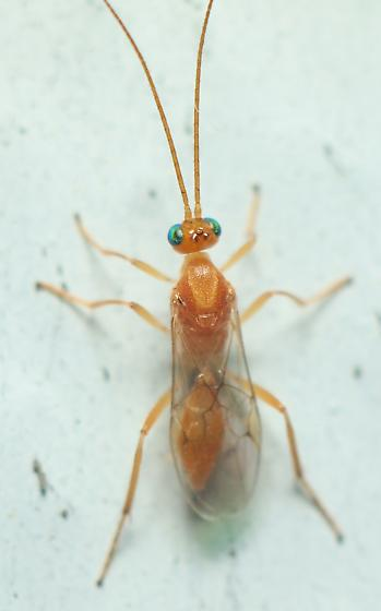 Meteorus sp.? - Meteorus - male