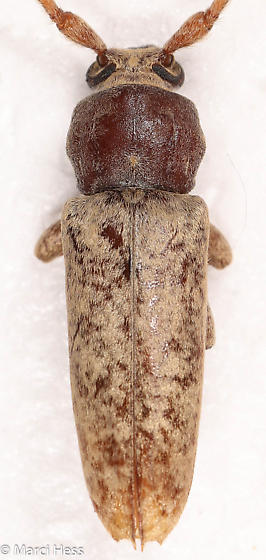 Enaphalodes rufulus