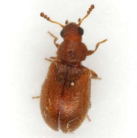 Paratenetus punctatus Spinola - Paratenetus punctatus