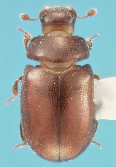 Cerylonid - Murmidius ovalis
