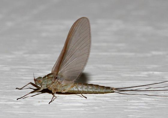 unidentified Ephemeroptera - Callibaetis floridanus