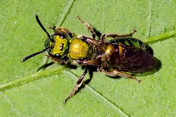 golden glitter - Augochlora pura