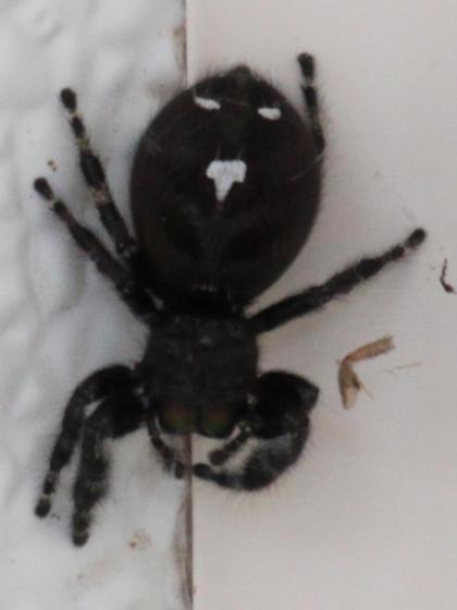 Spider - Phidippus audax