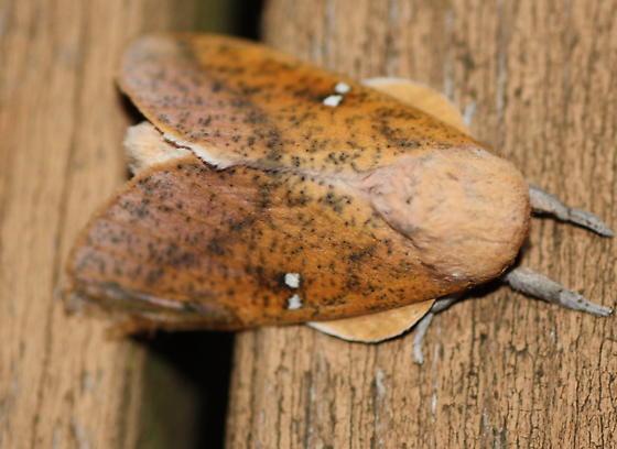 Syssphinx bicolor? - Sphingicampa bicolor