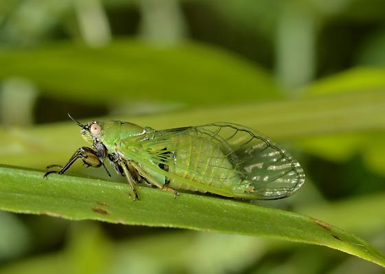 Cicadetta texana? - Cicadetta