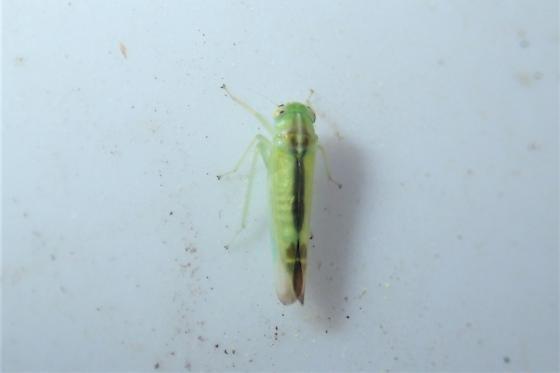 Leafhopper, Empoascini - Kybos