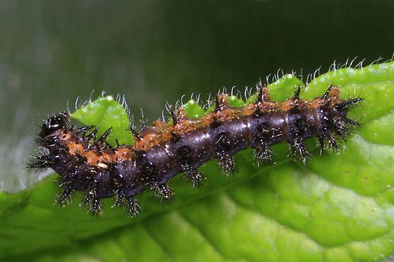 caterpillar - Chlosyne nycteis