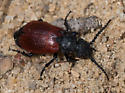 Red and Black Beetle - Tricrania sanguinipennis