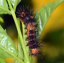 caterpillar - Hypercompe scribonia
