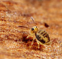 Collembola - Sminthurinus henshawi - male