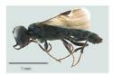 Orussus minutus - male