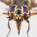 BG1651 E1164 - Chrysops fulvistigma - female