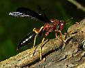 Polistes annularis - female