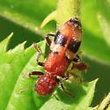 banded beetle - Enoclerus