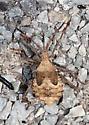 Leaf-footed Bug Nymph? - Acanthocephala terminalis