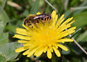 Bee - Andrena
