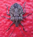 Seeking precise ID for this stink bug - Brochymena