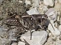 U.P. Grasshopper - Camnula pellucida