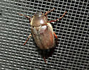 Large hairy beetle? - Phyllophaga crenulata