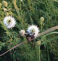 Black and gold on prairie clover - Bombus auricomus - female