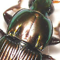 Ground beetle - Poecilus chalcites