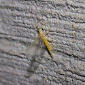 Pale yellow green-eyed mayfly