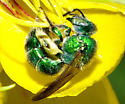Green Metallic Bee - Augochloropsis - female