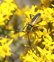 Another unidentified cerambycidae(?) - Crossidius