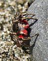Habronattus americanus - male