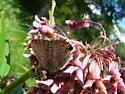 unknown butterfly on milkweed flower - Satyrium liparops