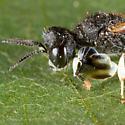 Unknown Wasp - Crabro latipes - male