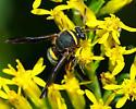Chalcid? - Leucospis affinis - male