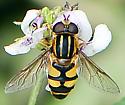 Helophilus fasciatus  - Helophilus fasciatus - male