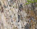 Great Spreadwing - Archilestes grandis - male - female