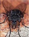 Oestroidea ? - Calliphora - female