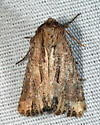 Chang Borer Moth - Xylomoia chagnoni