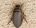 Dytiscus marginicollis - Dytiscus