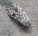 Giant Leopard Moth?? - Hypercompe scribonia - female