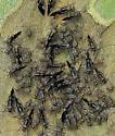 unidentified true bug - Cerastipsocus venosus