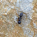 Ant on Cliff - Camponotus nearcticus