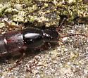 Rove Beetle - Quedius