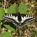 Papilionidae: Papilio zelicaon - Papilio zelicaon