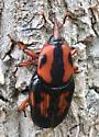 Palmetto Weevil - Rhynchophorus cruentatus - male