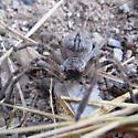SE Arizona Giant Crab Spider - Olios giganteus