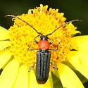 Longhorn - Mannophorus laetus