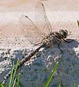Dragonfly - Perhaps Aeshna canadensis (Canada Darner)? - Aeshna canadensis